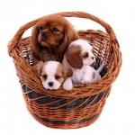 Leder Hundecouch, Hundesofa oder doch lieber ein Hundekorb für Cavaliere