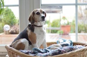 Hundekorb neben einer Leder Hundecouch für Beagle geeignet